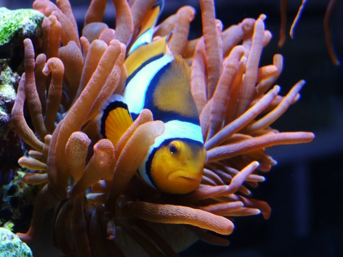 Clownfish in Anemone Tentacles (Copiar)