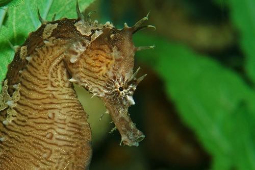 Lined seahorse (Copiar)