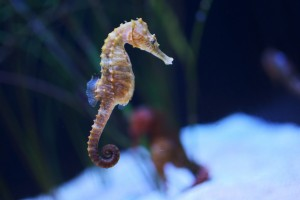 north east seahorse