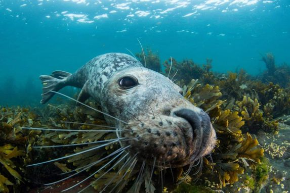 close up of seal swimming