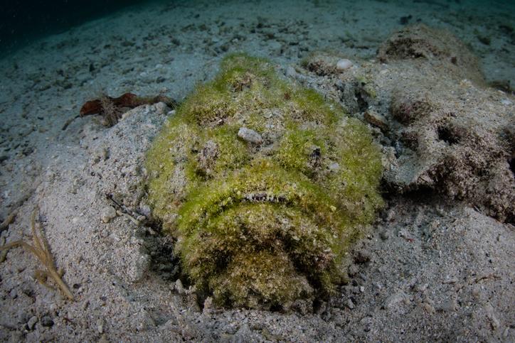 stonefish covered in algae